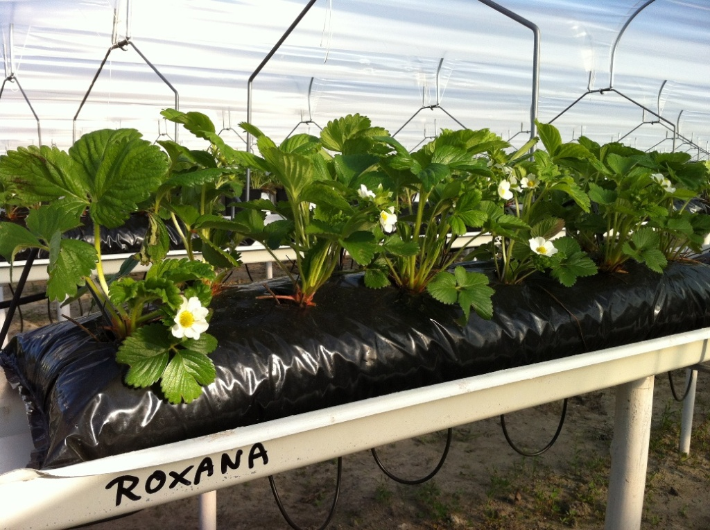 Odmiana 'Roxana' w uprawie na podłożach inertnych