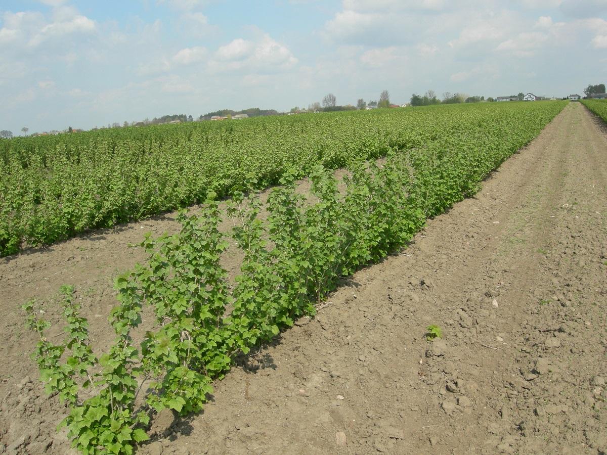 zwalczanie chwastów na plantacjach krzewów porzeczki