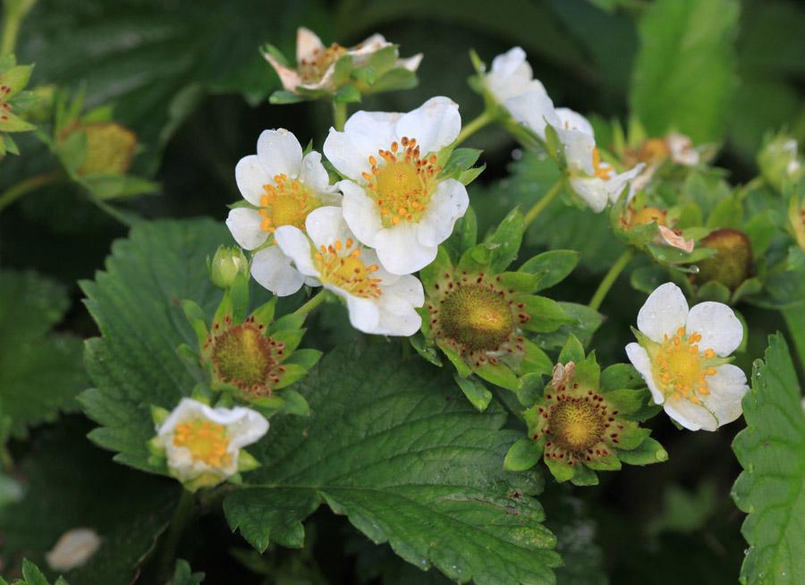 kwitnące truskawki, szara pleśń, ochrona truskawek