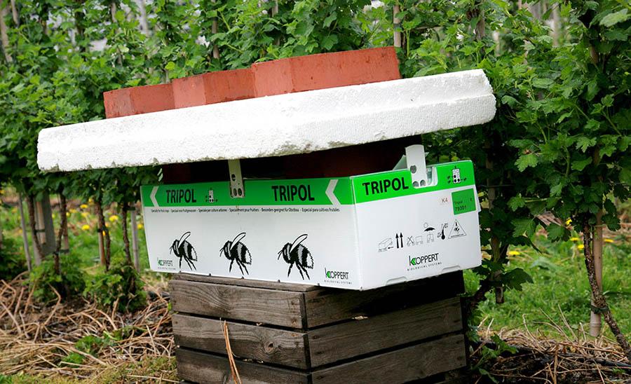tripol, trzmiele dla jagodowych