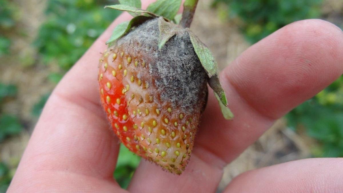 szara pleśń truskawki, zwalczanie szarej pleśni w truskawkach