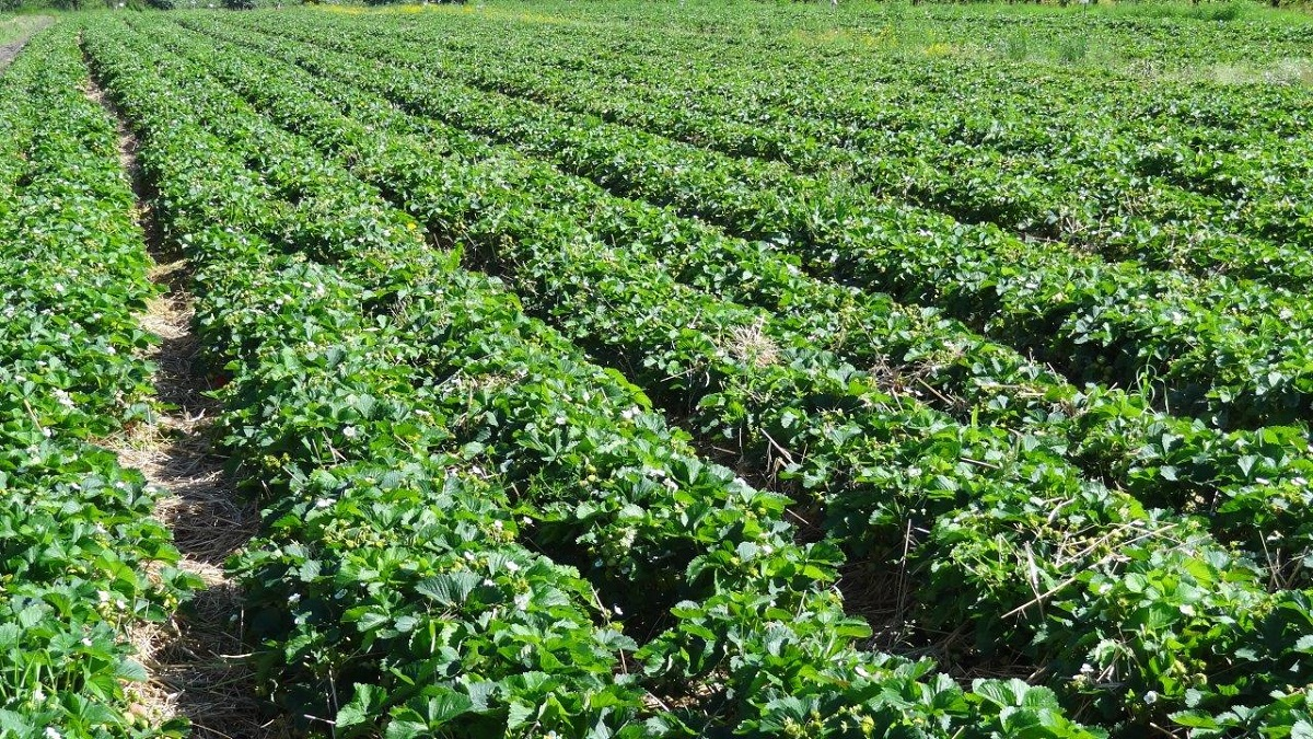 plantacja truskawek, zbiór truskawek, uprawa truskawek, nawożenie truskawek