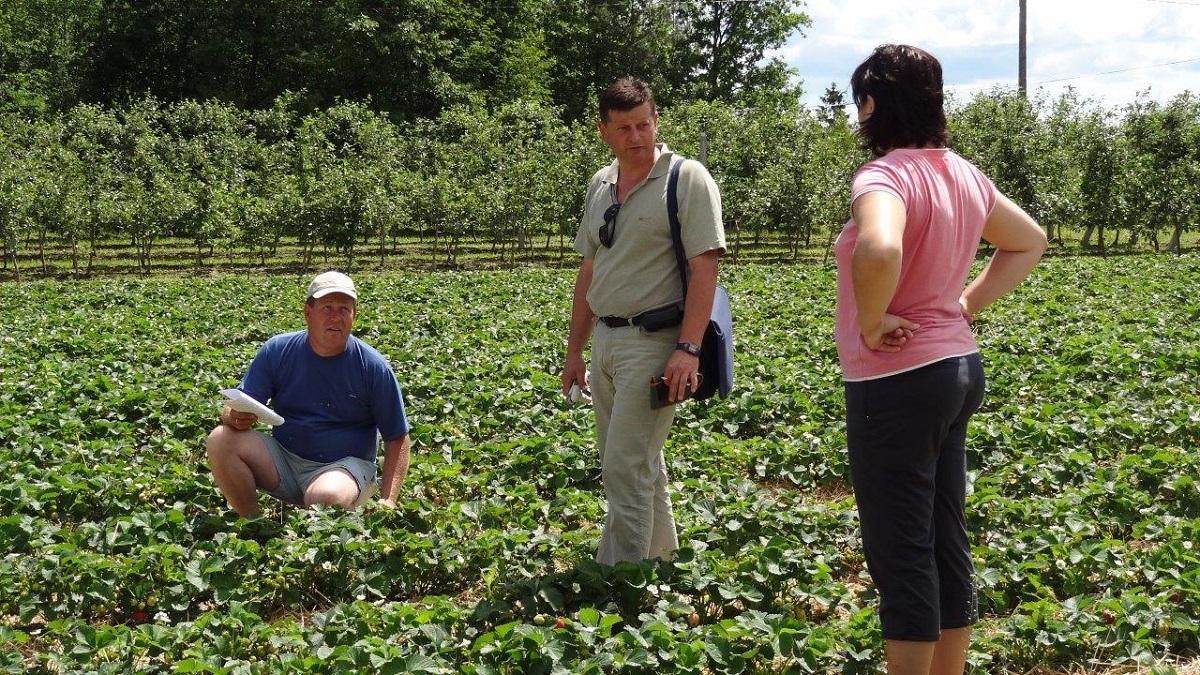 grupa truskawkowa, nawożenie truskawek, uprawa truskawek,
