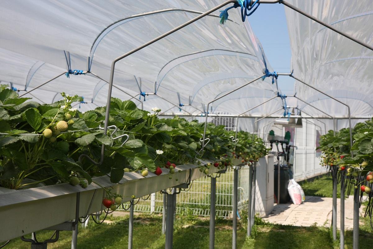 daszki dla truskawek, mini tunele dla truskawek, metazet, rynny dla truskawek
