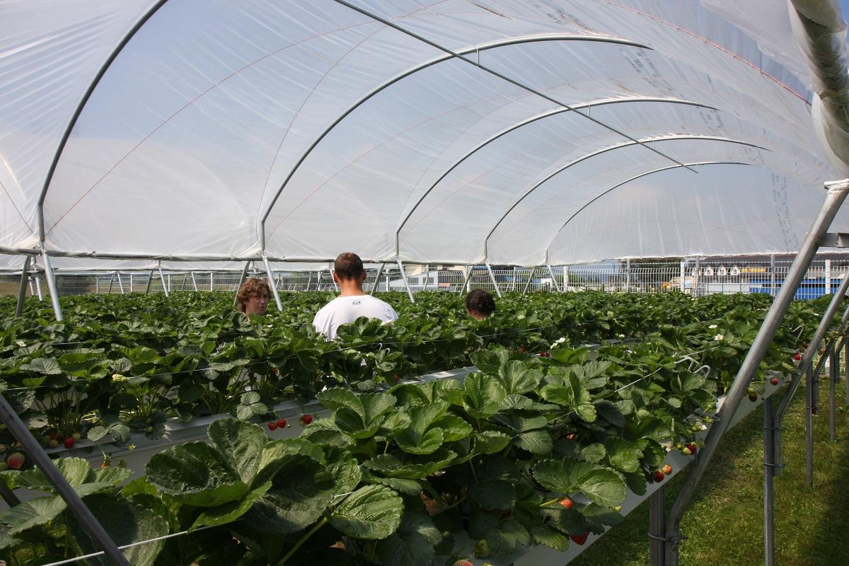 mini tunel dla truskawek, uprawa truskawek pod osłonami, metazet, formflex
