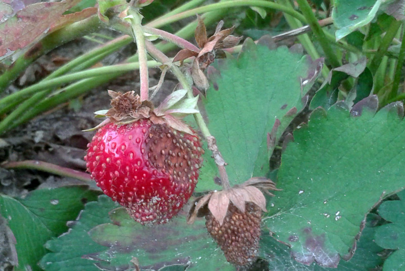 antraknoza truskawki, ochrona truskawek