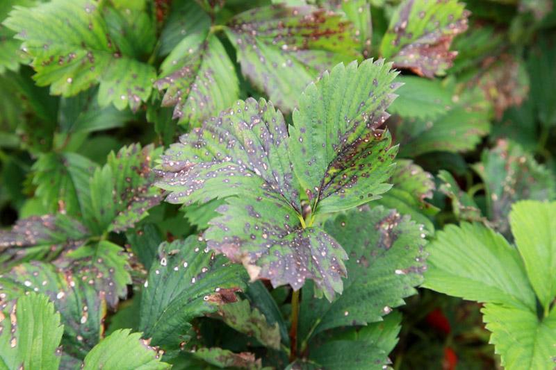 biała plamistość liści truskawki, ochrona truskawek