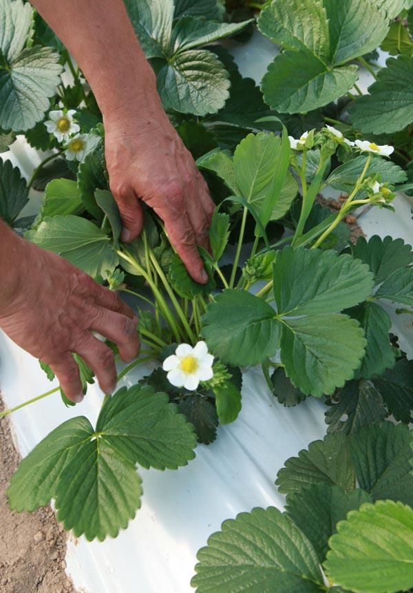 odmiany powtarzające owocowanie, jagodnik.pl., odmiany truskawek, truskawka, truskawki, uprawa rynnowa, Evie 2, Albion. Flevoplant, Agronom Berries