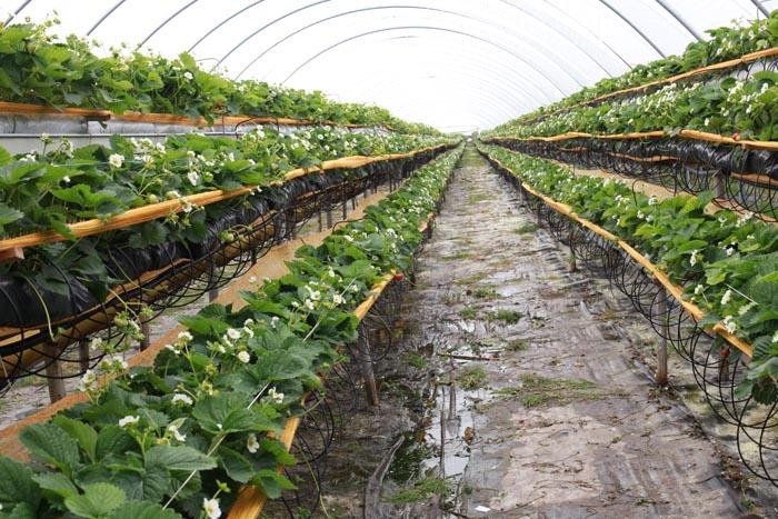 odmiany powtarzające owocowanie, jagodnik.pl., odmiany truskawek, truskawka, truskawki, uprawa rynnowa, Evie 2, Albion. Flevoplant, Agronom Berries, Florentina