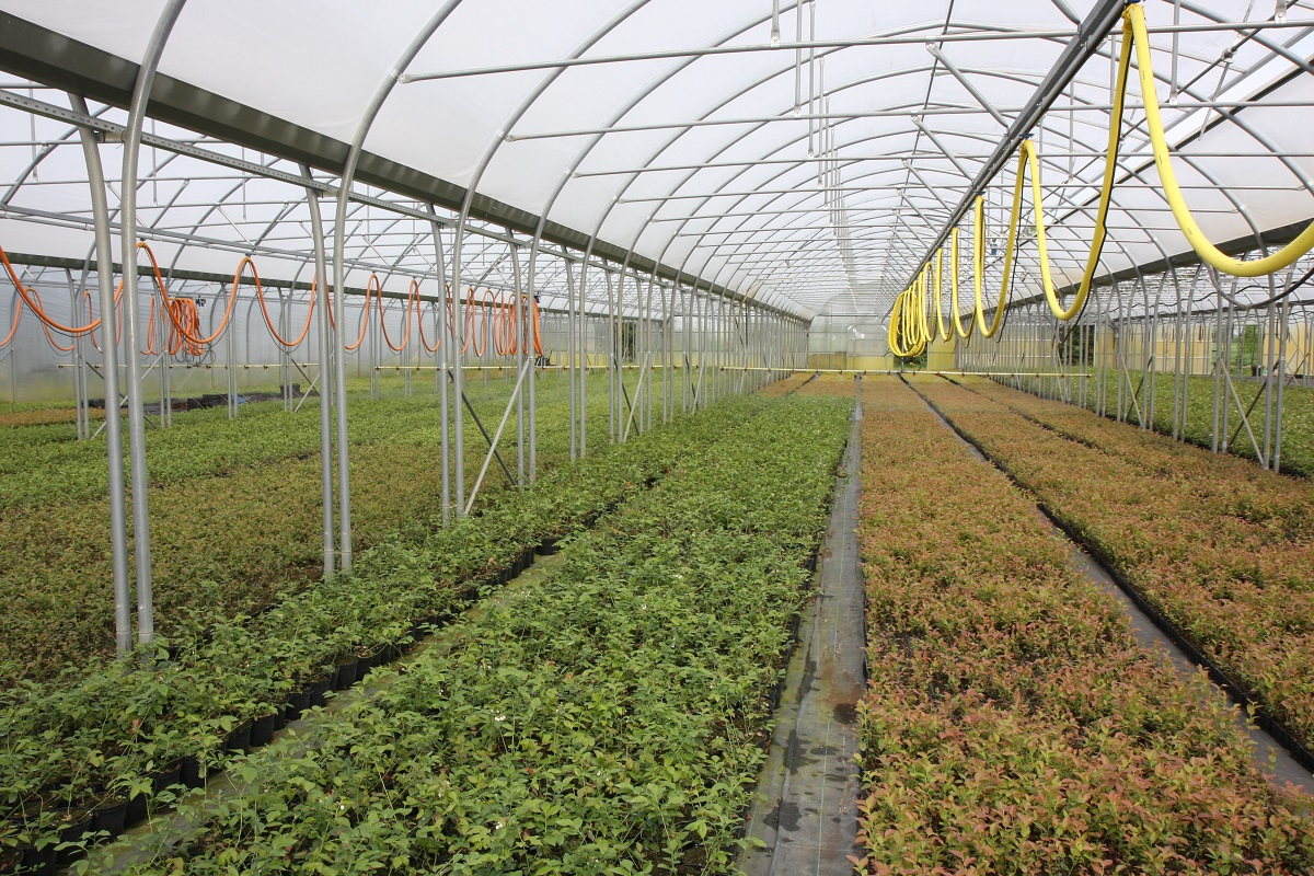 tunele dla borówki, Farmer, jagodnik.pl, sadzonki borówki produkcja