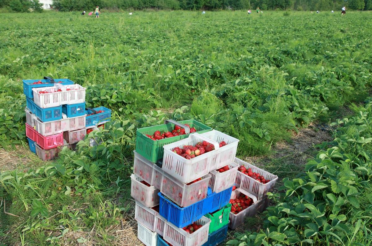 jagodnik, Honeoye, ekologiczne truskawki,