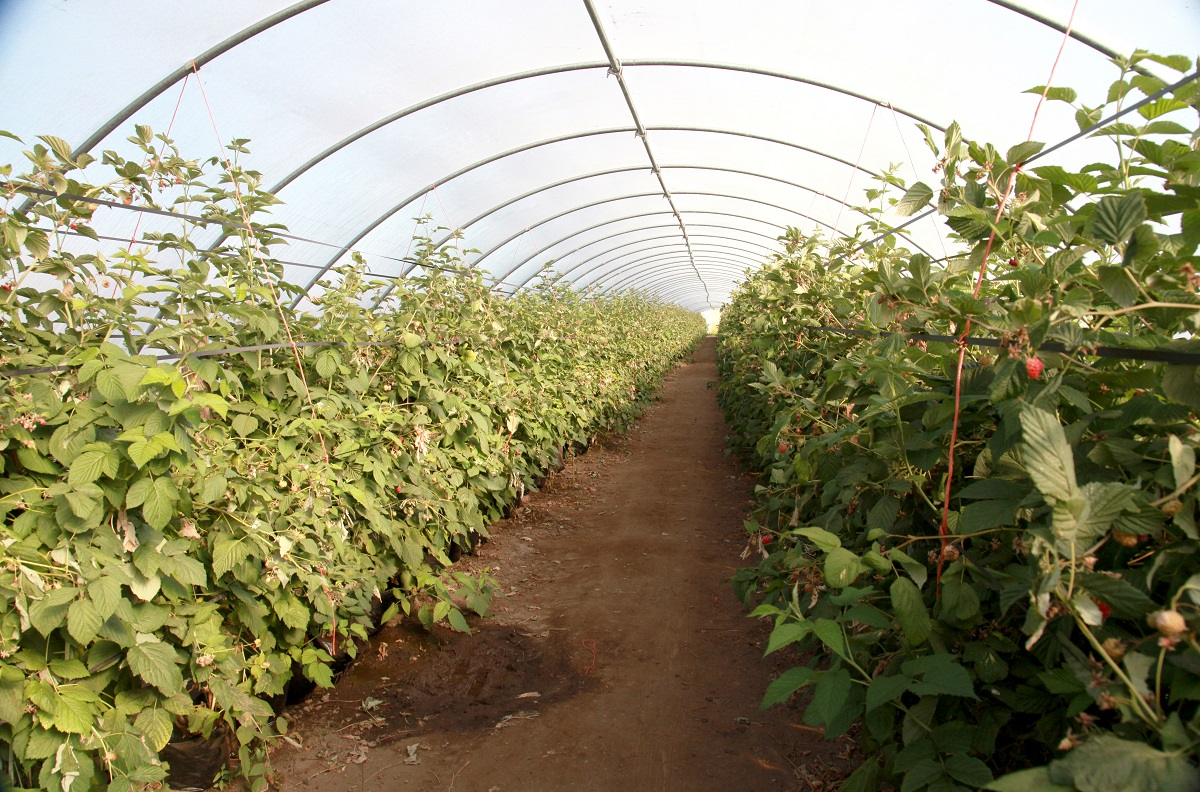 jagodnik, maliny w tunelach, uprawa malin