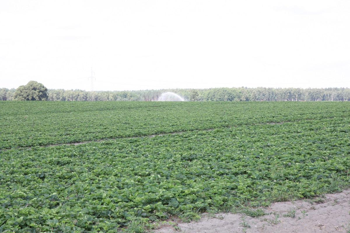 technologia uprawy, truskawka, sadzonki truskawek, odmiany truskawek