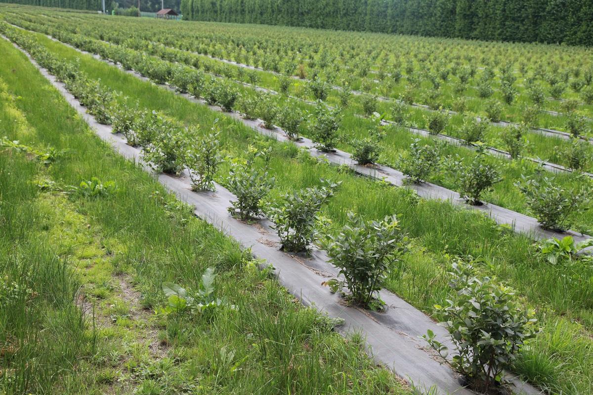 Jagodnik, uprawa truskawek, uprawa malin, uprawa borówek, maliny