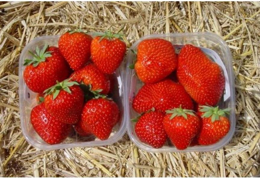 technologia uprawy, truskawka, odmiany truskawek, Cristina, Romina, Adria, Sveva