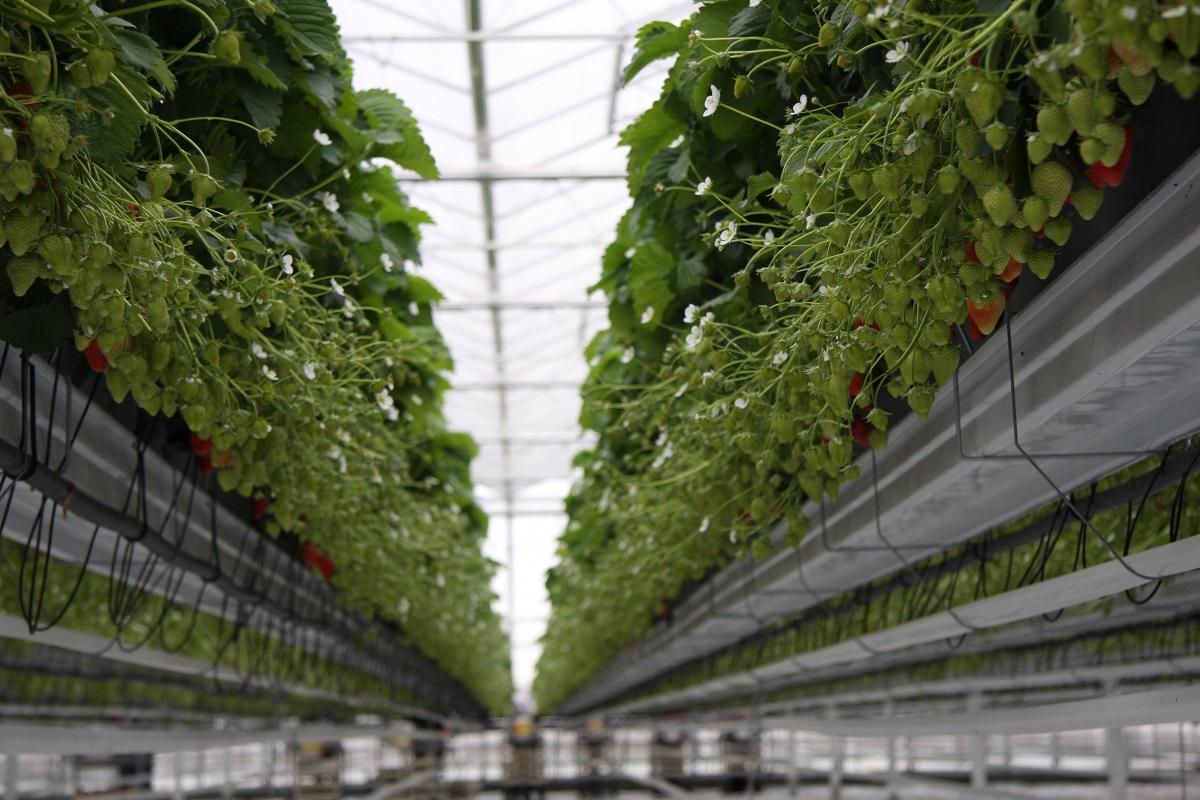 technologia uprawy, truskawki, uprawa truskawek w szklarni, ABZ Seeds