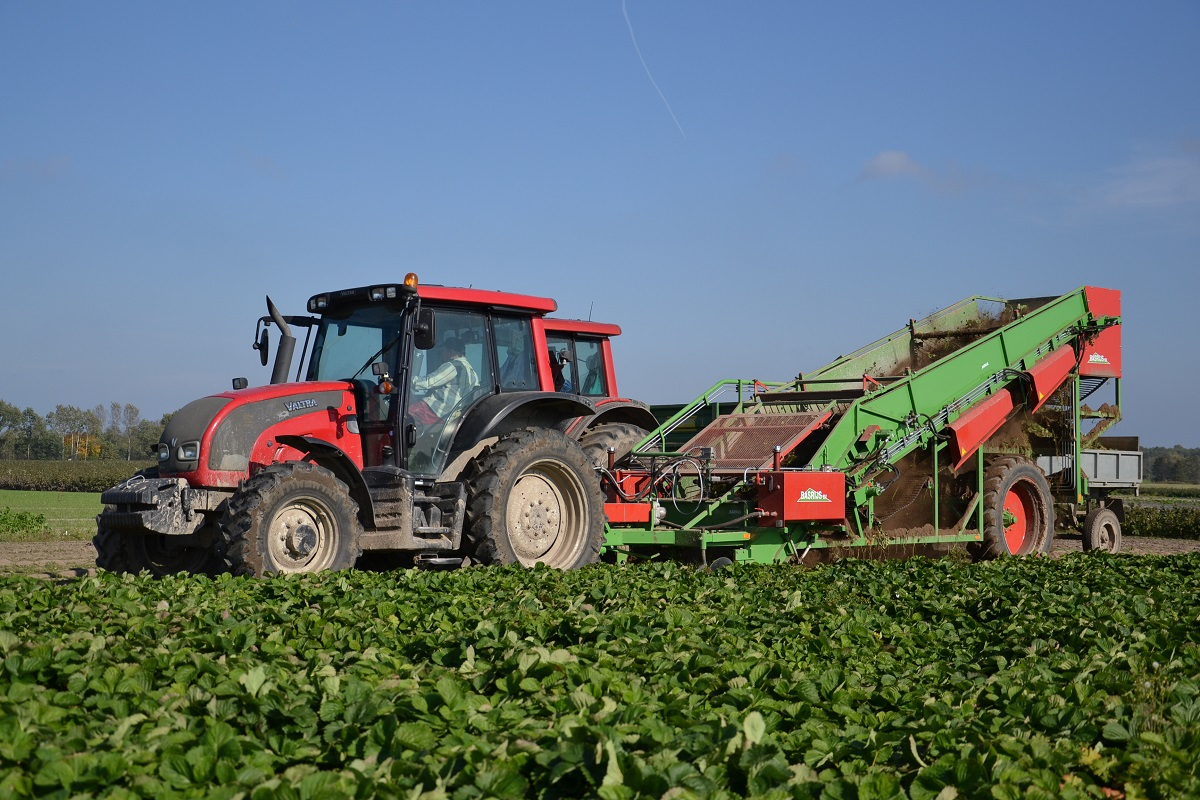 technologia uprawy, truskawka, malina, borówka wysoka, odmiany truskawek, Vibrant, Elegance, sadzonki truskawek