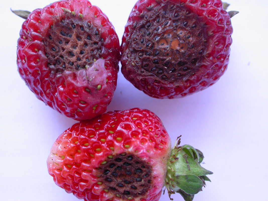 Jagodnik, choroby truskawek, truskawka, malina, borówka wysoka,
