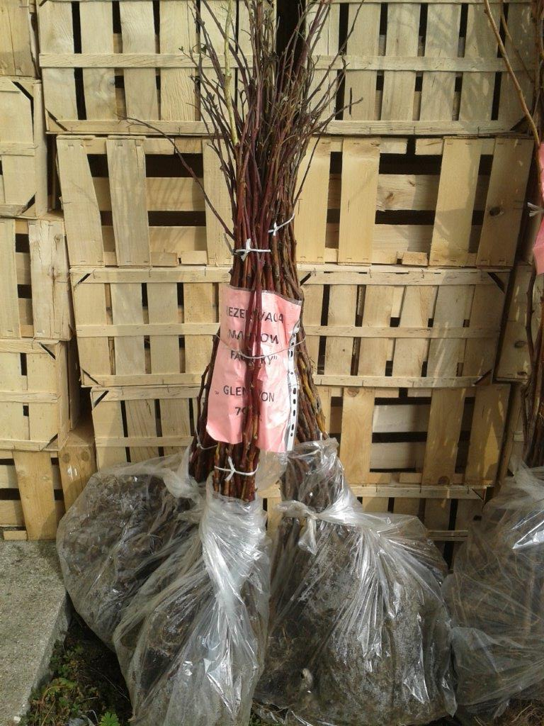 Malinowe Factory, malina, long cane, Tulameen, Glen Lyon, Glen Ample
