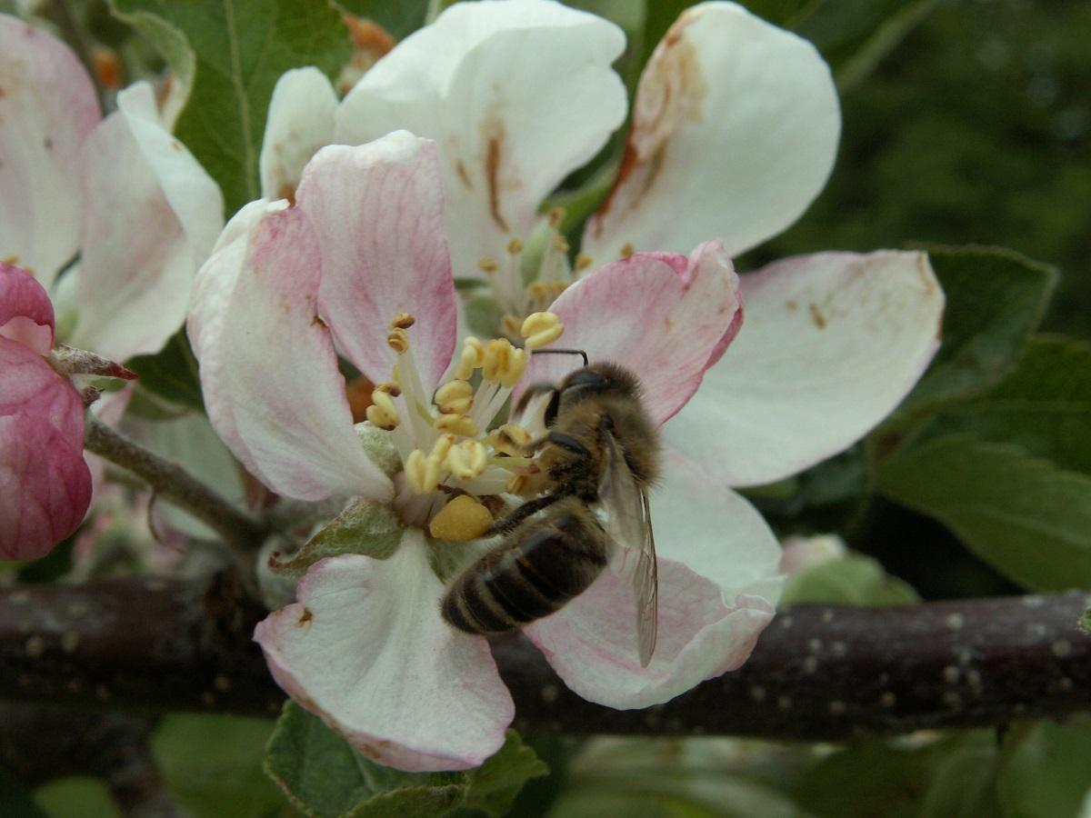 pszczoła miodna, zapylanie