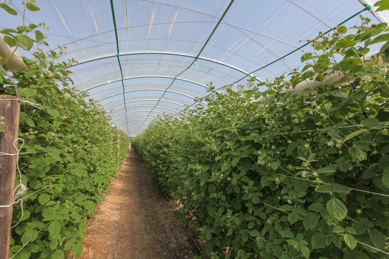 Промышленное выращивание малины в россии 30