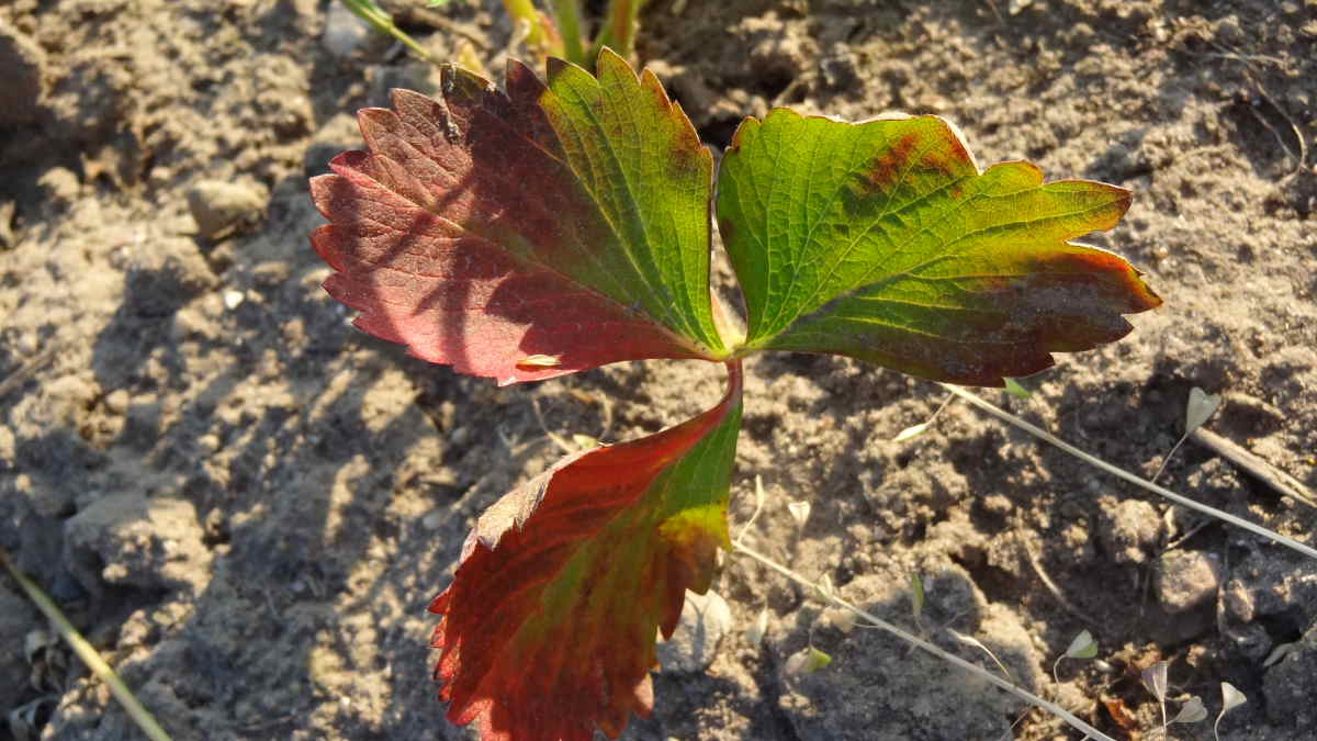 Przebarwianie starszych liści na roślinie może być oznaką niedoboru azotu