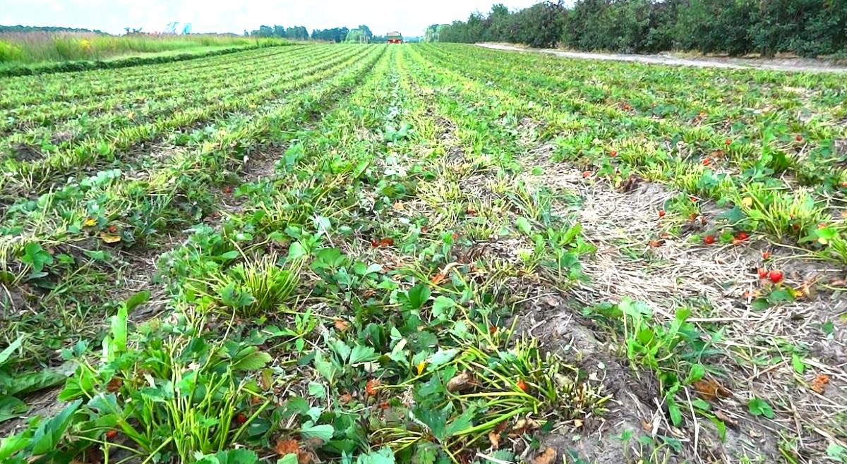 koszenie liści, grupa truskawkowa, uprawa truskawek