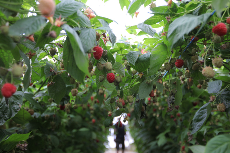 technologia uprawy, truskawka, malina, borówka wysoka, doradztwo, DLV