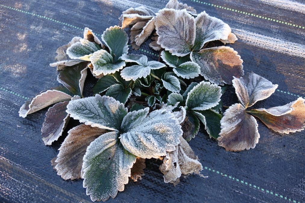 truskawka, przezimowanie roślin