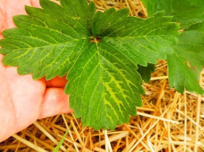Objawy uszkodzenia roślin przez pozostałości herbicydu doglebowego