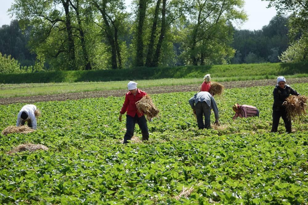 Ręcznie ściółkowanie plantacji słomą zbożową