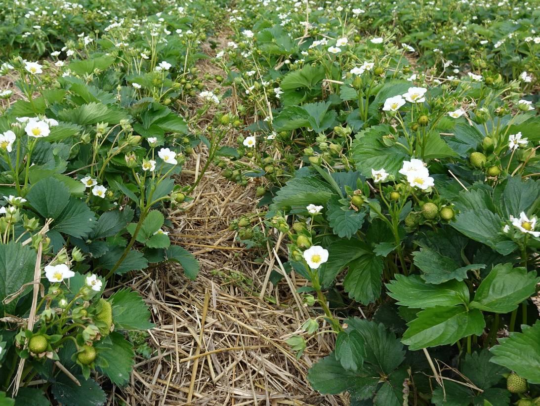 Prawidłowo wyściółkowana plantacja odmiany Vibrat