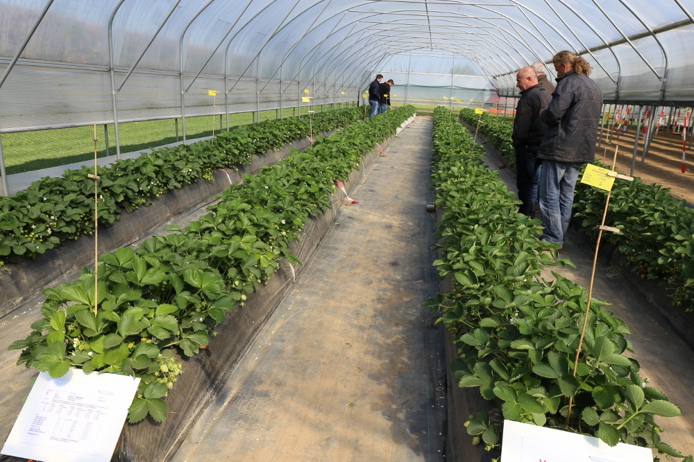 truskawka, tunele dla truskawek, uprawa truskawek