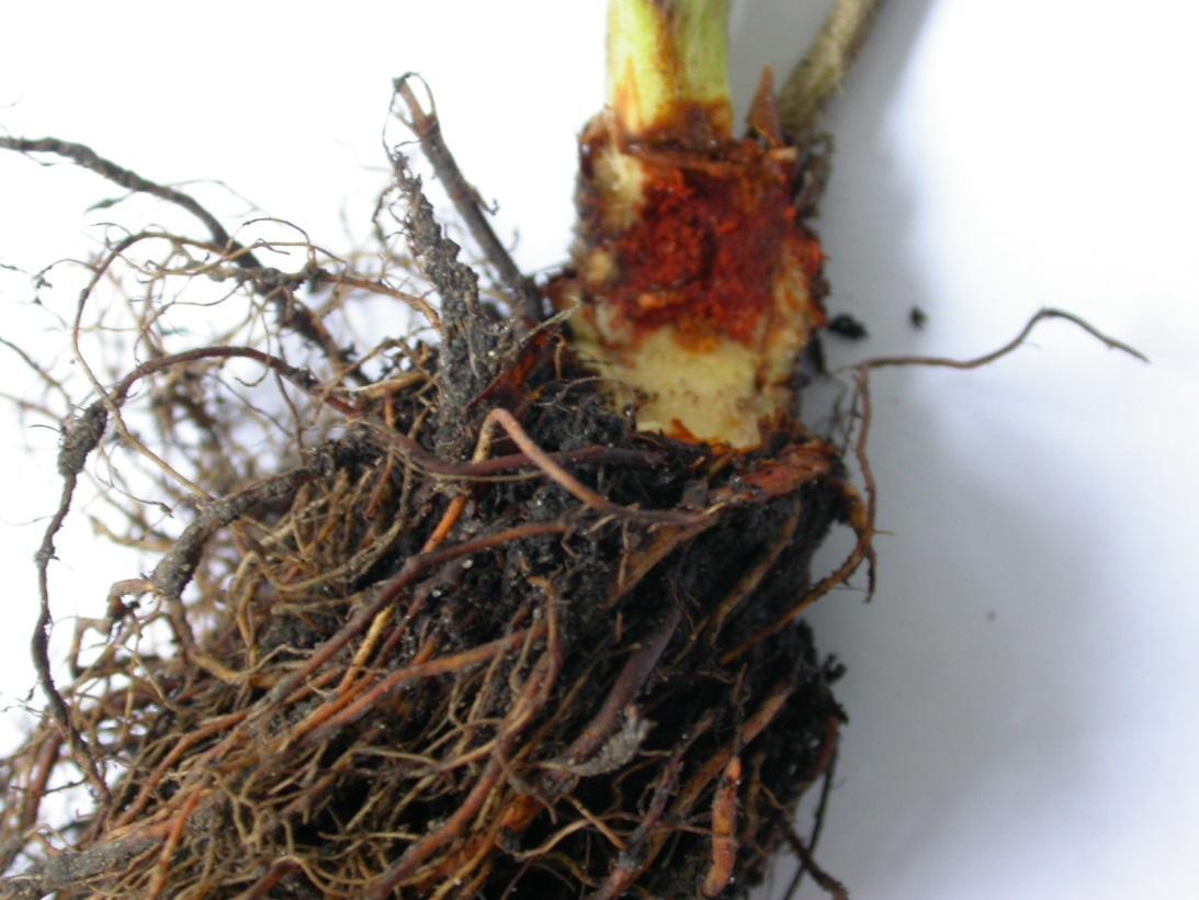 Zgnilizna korony truskawki