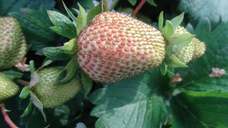 Nietypowe wybarwienie owoców spowodowane niekorzystnymi warunkami termiczno-wilgotnościowymi.