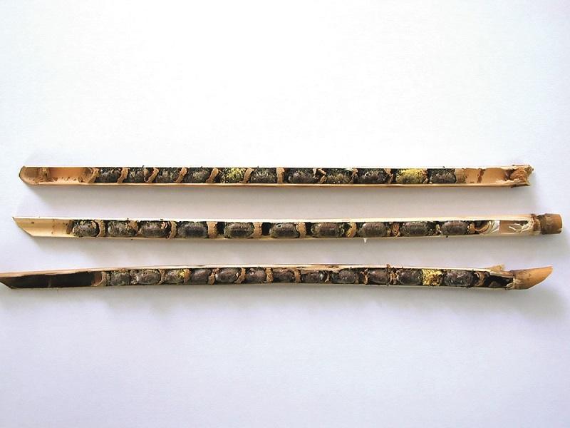 Rozcięta rurka trzcinowa z kokonami murarki