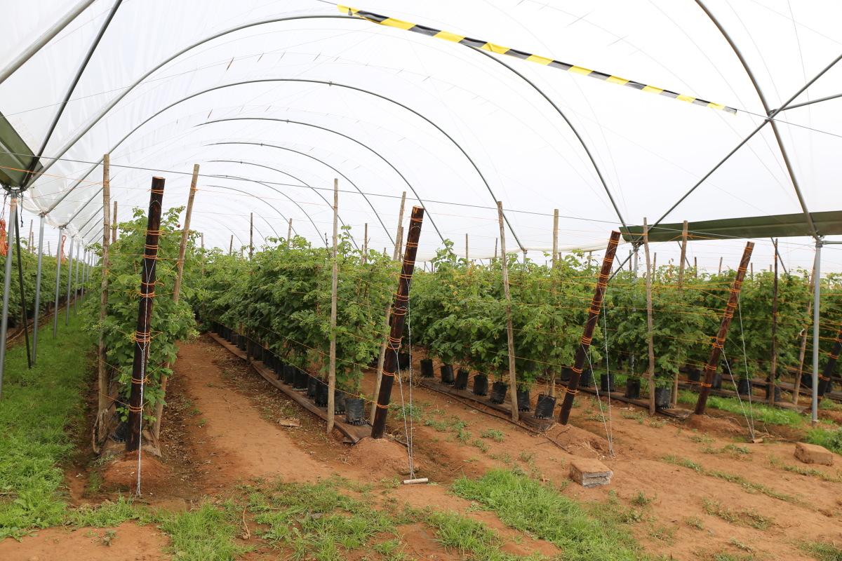 Wizyta na farmie firmy Haygrove to jak zawsze możliwość zapoznania się z uprawą malin, która w ostatnich latach zdominowała uprawy realizowane w tunelach