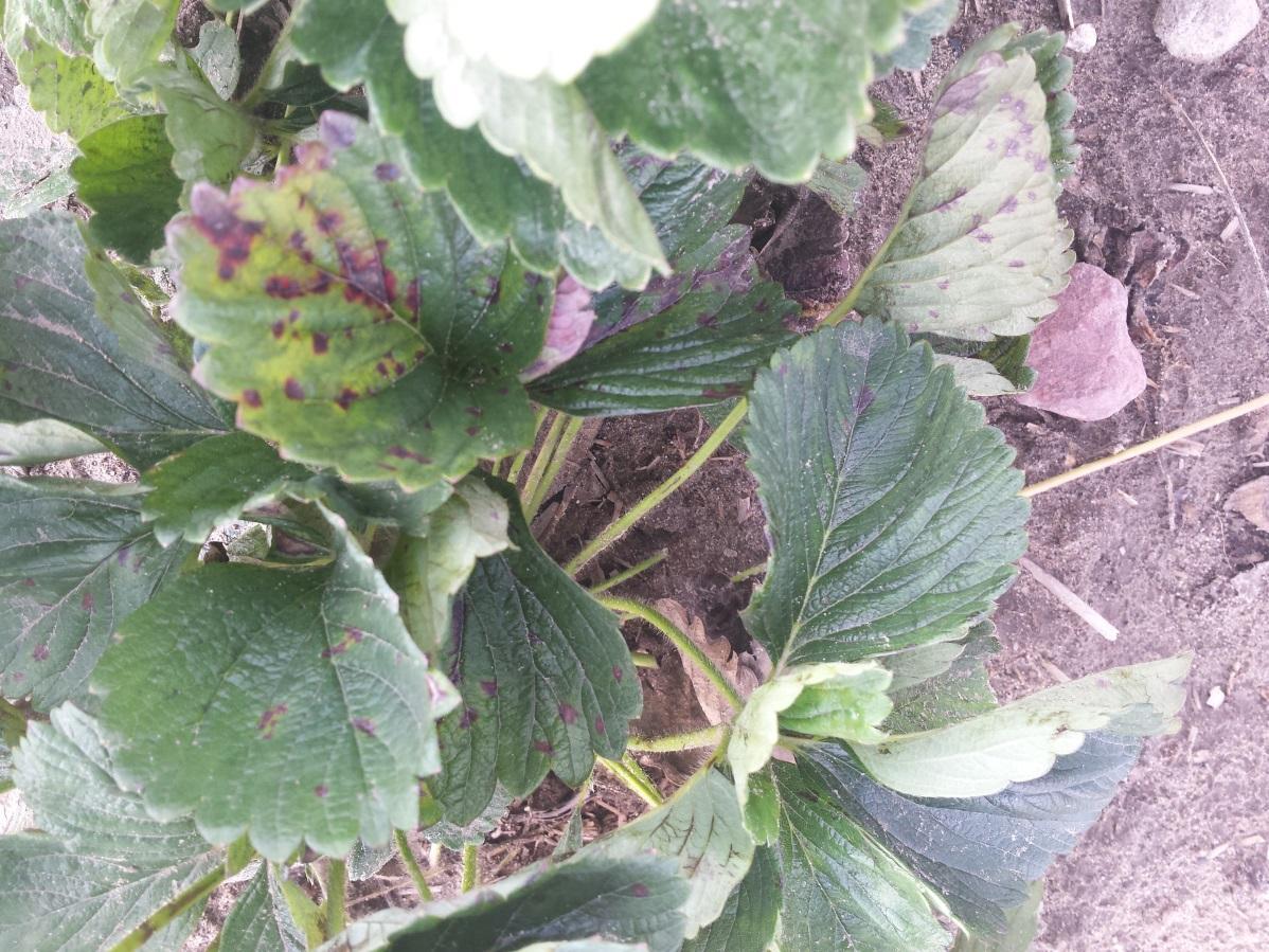 Objawy mączniaka prawdziwego truskawki w postaci brunatno-czerwonych nekroz  (B. Meszka)