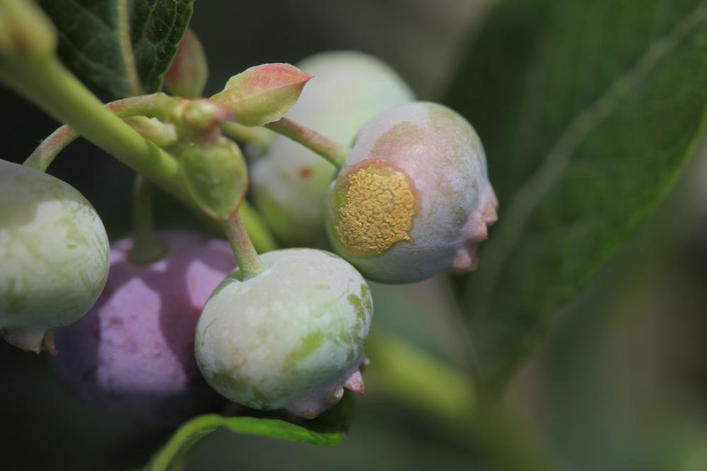 Objawy rdzy na owocach borówki