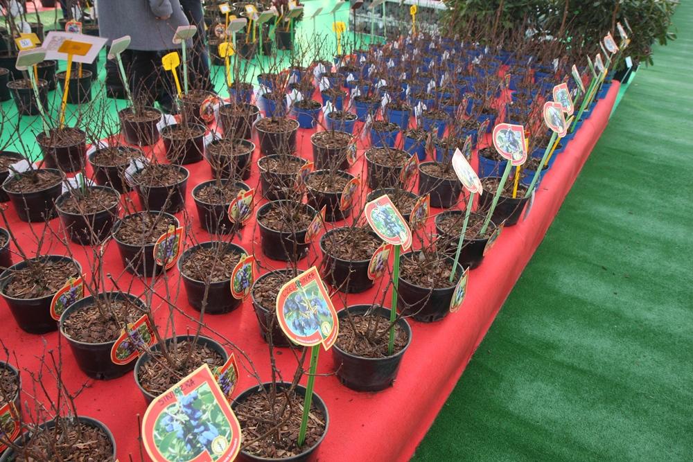 Szeroka kolekcja sadzonek jagody kamczackiej sadzonej w dniczkach po 2 sztuki lub pojedynczo