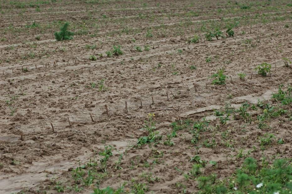 Plantacja malin założona z sadzonek pędowych – 27 maja (fot. P. Krawiec)