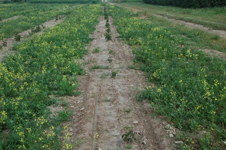 Ta sama plantacja 3 lipca, większość sadzonek nie przyjęła i plantacja zarasta chwastami (fot. P. Krawiec)