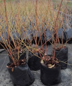Krzewy odmiany 'Bluecrop' - jesień 2015, pojemnik 3,5 l