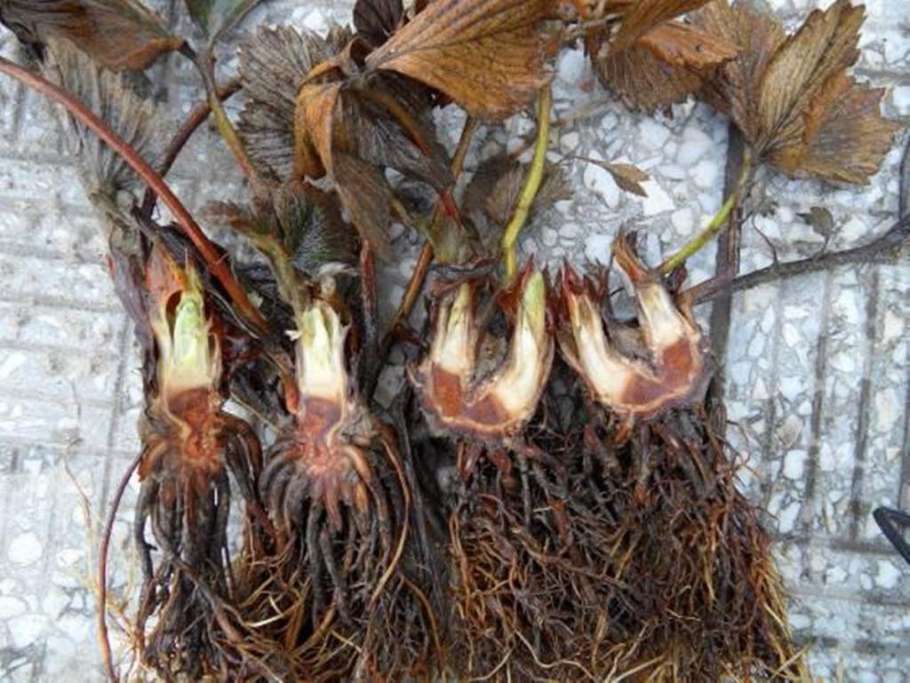 Fot. 1. Uszkodzenie szyjki korzeniowej u odmiany Florence sadzonej w sierpniu 2016 i uprawianej bez okrywy (18 luty 2016, Kaszuby)