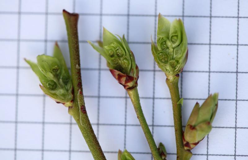 Prawidłowo rozwijające się pąki borówki + na przekroju widać już kwiatostan
