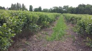 Odmłodzona plantacja aronii po cięciu wyrzynarka BERTA