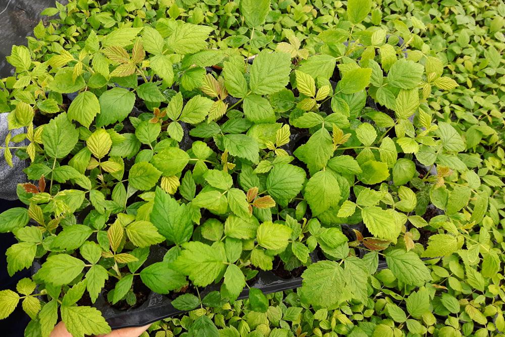 Rośliny produkowane w tacach z 40 otworami