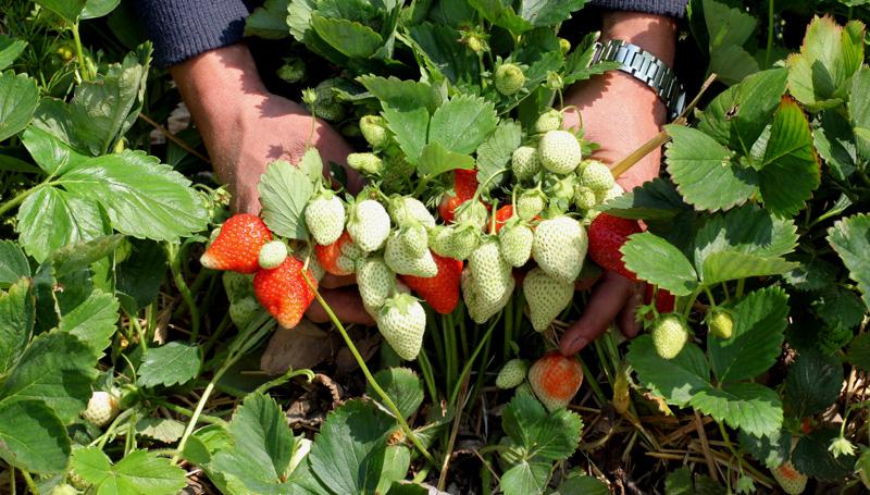 Wysokie plony truskawek to efekt m.in. dobrej ochrony