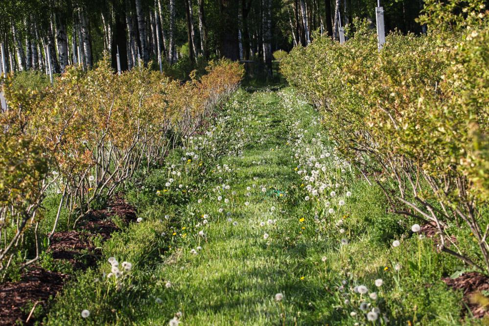 Efekt ubiegłorocznej suszy (z lewej) tam gdzie nie docierała woda, z prawej normalnie rosnące rośliny