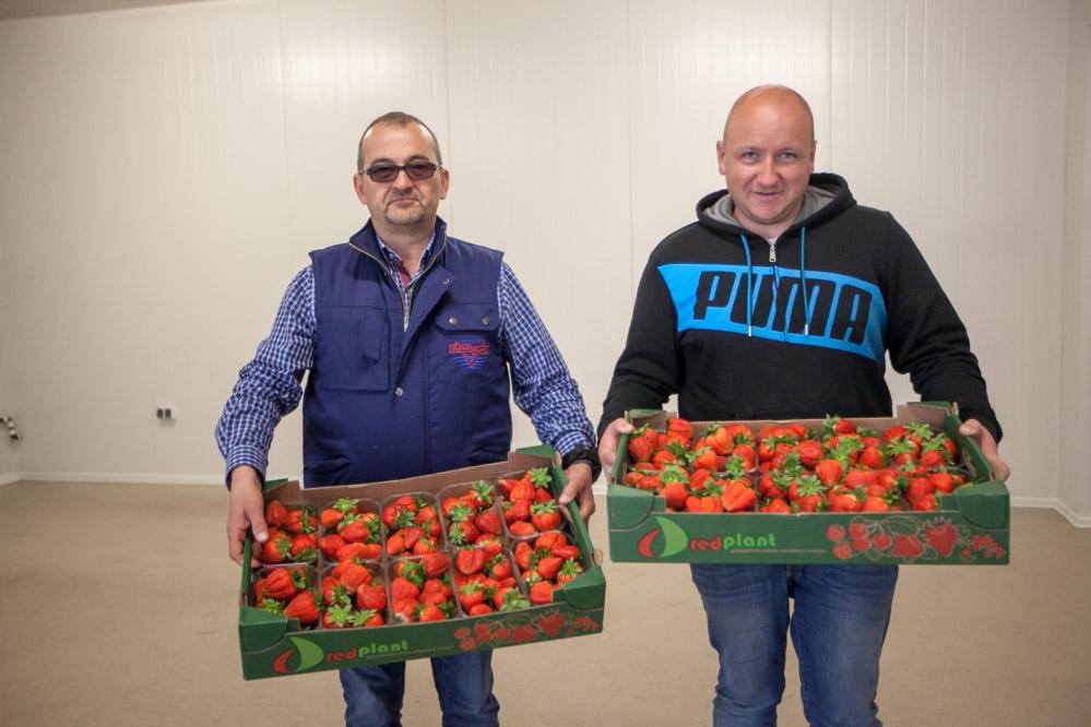 Rafał Popławki i Zbigniew Pisarek prezentują truskawki odmiany 'Flair', przygotowane już do sprzedaży